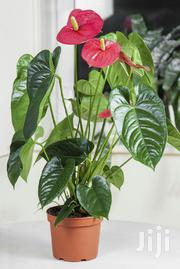 Anthurium Flamingo | Garden for sale in Kiambu, Gitaru