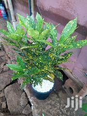 Potted Yellow Croton | Garden for sale in Kiambu, Gitaru