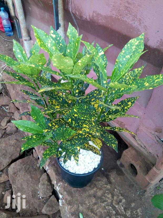 Potted Yellow Croton