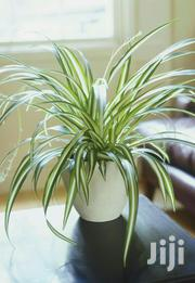 The Spider Plant | Garden for sale in Kiambu, Gitaru