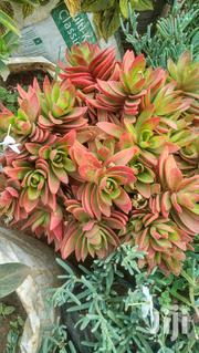 Campfire Echeveria | Garden for sale in Kiambu, Gitaru