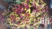 Potted Coleus Blumei | Garden for sale in Kiambu, Gitaru