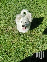 Baby Female Purebred Japanese Spitz | Dogs & Puppies for sale in Nakuru, Nakuru East