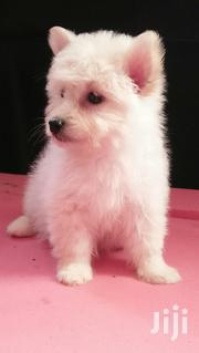 Baby Male Purebred Maltese | Dogs & Puppies for sale in Nairobi, Nairobi Central