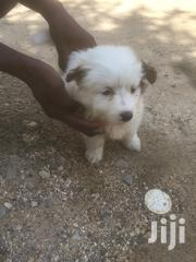 Young Female Purebred Japanese Spitz | Dogs & Puppies for sale in Mombasa, Bamburi