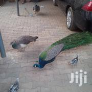 Peackok Sale 3 And Half Months Old. Delivery Available | Birds for sale in Nairobi, Karen