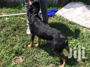 Adult Male Mixed Breed German Shepherd Dog | Dogs & Puppies for sale in Kajiado, Kitengela