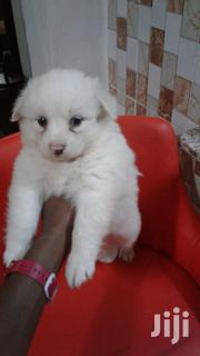 Young Female Purebred Japanese Spitz | Dogs & Puppies for sale in Nairobi, Kileleshwa