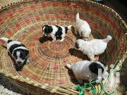 Baby Female Purebred Maltese   Dogs & Puppies for sale in Nairobi, Harambee