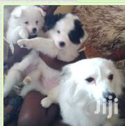 Young Female Purebred Japanese Spitz | Dogs & Puppies for sale in Kisumu, Market Milimani