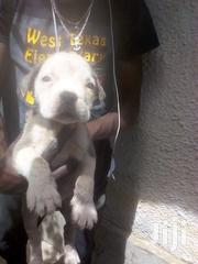 Baby Female Mixed Breed Boerboel   Dogs & Puppies for sale in Mombasa, Bamburi