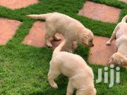 Young Male Mixed Breed Golden Retriever | Dogs & Puppies for sale in Nairobi, Karen