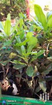 Grafted Macadamia | Feeds, Supplements & Seeds for sale in Nairobi, Nairobi Central