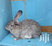 Rabbits for Sale | Other Animals for sale in Kajiado, Ongata Rongai
