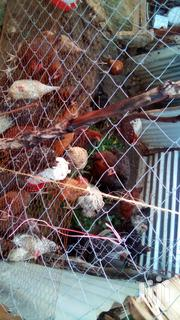 Mature Chicken For Sale | Livestock & Poultry for sale in Mombasa, Shanzu