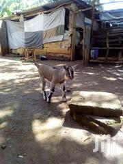 Toggenberg Male Goat | Other Animals for sale in Busia, Marachi East