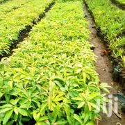 Grafted Avocado Seedlings | Feeds, Supplements & Seeds for sale in Nairobi, Nairobi Central