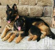 Baby Female Purebred German Shepherd Dog | Dogs & Puppies for sale in Nairobi, Embakasi