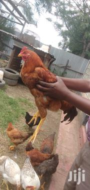Chicken Seller   Livestock & Poultry for sale in Laikipia, Nanyuki
