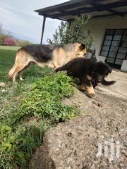 Adult Female Purebred German Shepherd Dog | Dogs & Puppies for sale in Nakuru, Elementaita