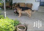 Adult Male Purebred German Shepherd Dog | Dogs & Puppies for sale in Nakuru, Elementaita