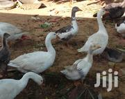 Male And Female Geese | Birds for sale in Mombasa, Bamburi