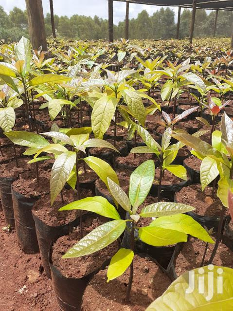 Hass Avocados Seedlings