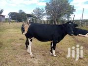 Fleckvieh Heifer | Other Animals for sale in Nyeri, Mweiga