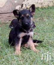 Young Male Purebred German Shepherd Dog | Dogs & Puppies for sale in Uasin Gishu, Racecourse