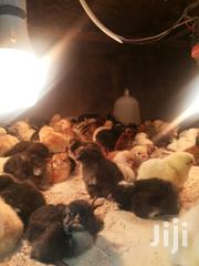 Kienyeji Chicks Available For Sale | Birds for sale in Nairobi, Komarock
