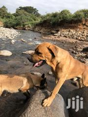 Adult Male Purebred Boerboel | Dogs & Puppies for sale in Nakuru, Kiamaina