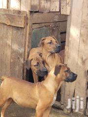 Young Male Purebred Boerboel | Dogs & Puppies for sale in Kajiado, Ongata Rongai