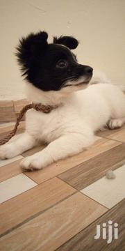 Young Female Mixed Breed Japanese Spitz | Dogs & Puppies for sale in Kiambu, Hospital (Thika)