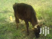 Male Calf For Sale | Other Animals for sale in Nyandarua, Magumu