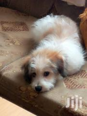 Young Male Mixed Breed Maltese | Dogs & Puppies for sale in Nairobi, Harambee