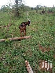 Goat For Sale | Other Animals for sale in Kiambu, Juja