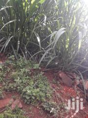 Napier Grass For Sale | Feeds, Supplements & Seeds for sale in Kirinyaga, Kiine