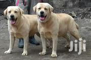 Adult Male Purebred Labrador Retriever | Dogs & Puppies for sale in Nairobi, Airbase