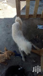 Young Female Purebred Japanese Spitz | Dogs & Puppies for sale in Mombasa, Changamwe