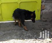 Adult Female Purebred German Shepherd Dog | Dogs & Puppies for sale in Nakuru, Nakuru East