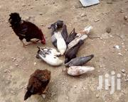 Chickens & Doves | Birds for sale in Mombasa, Likoni