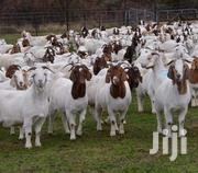 Boer Goat For Sale | Livestock & Poultry for sale in Nairobi, Ruai