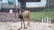 Dairy Buck For Sale | Livestock & Poultry for sale in Mombasa, Bamburi