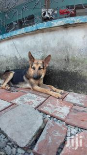 Young Female Purebred German Shepherd Dog | Dogs & Puppies for sale in Mombasa, Bamburi