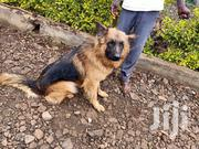 Adult Male Purebred German Shepherd Dog | Dogs & Puppies for sale in Kajiado, Ngong