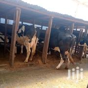 Dairy Cows | Livestock & Poultry for sale in Kiambu, Githunguri