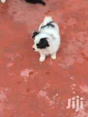 Baby Male Mixed Breed Maltese | Dogs & Puppies for sale in Nairobi, Harambee