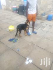 Young Male Purebred German Shepherd Dog | Dogs & Puppies for sale in Nairobi, Embakasi