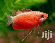 3 Spot Guaramis And Red Dwarf Flame Guarami | Fish for sale in Nakuru, London