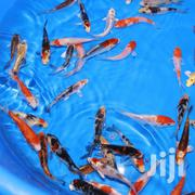 Koi Karp Ornamental Fish | Fish for sale in Nakuru, London
